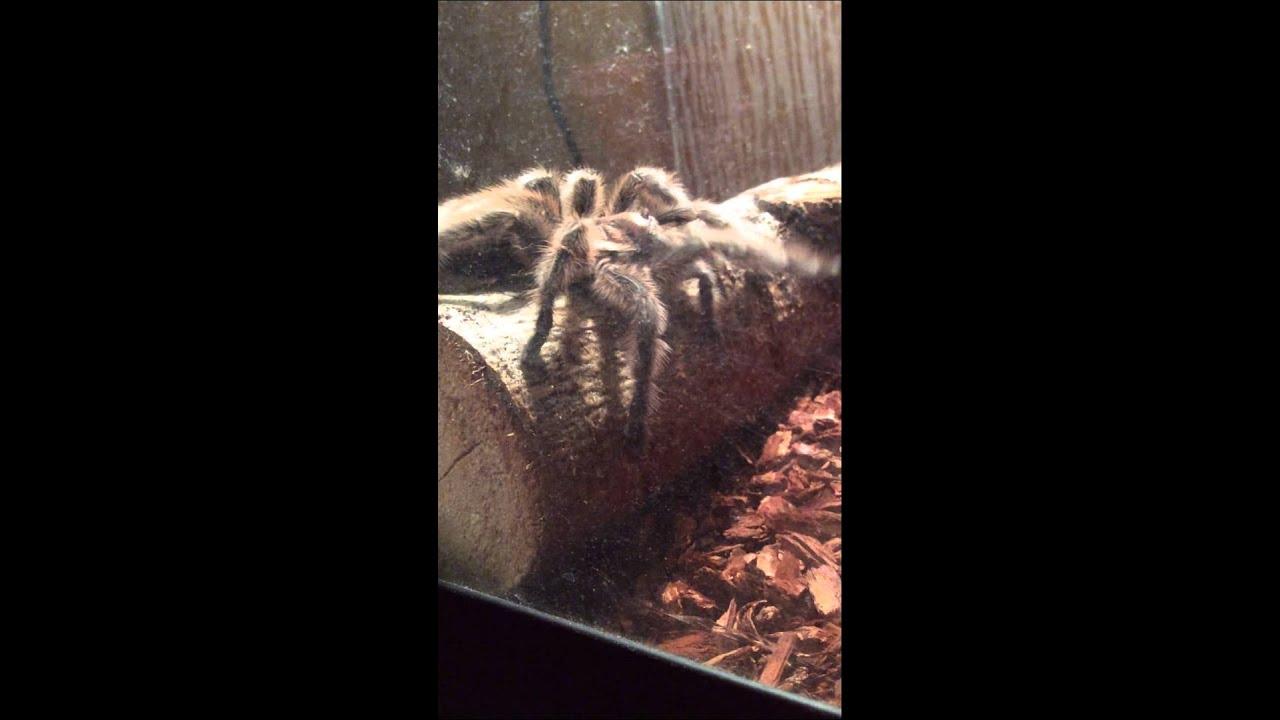 Tarantula Web Spinning Tarantula Spinning Web