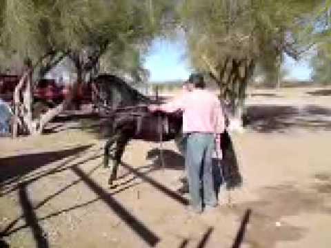 El compa alonso, entrenando caballo bailador