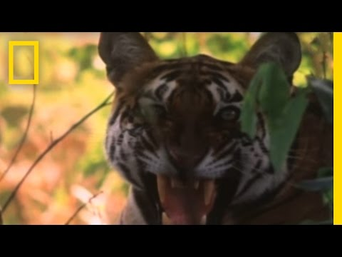 Wild Tigers Caught on Camera