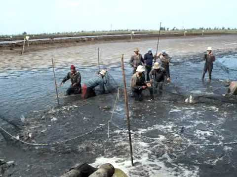 The Very Last Batch Of Tilapia Harvest In Earthen Ponds In A Typical Tilapia Farm  Egypt