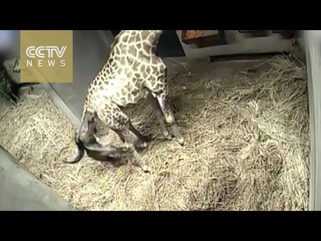 The birthing of a baby giraffe