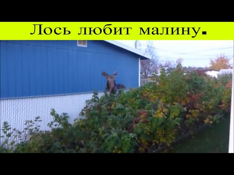 Лось (Moose) любит малину. Аляска, Анкоридж, США