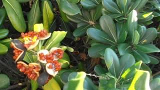 Frutos abiertos del PITOSPORO: Pittosporum tobira (http://riomoros.blogspot.com/)