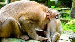 It Is The First Time For Pigtail Monkey Come Back To Take Care Baby Aiden After She Giving Up For