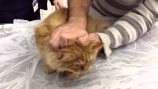 Karamel Angry Cat on Veterinary | Little Garfield