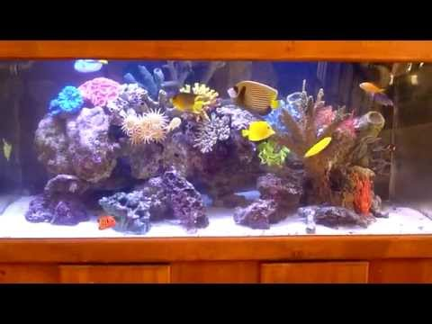 Wide 100 gallons acrylic saltwater aquarium: Blue Spot Puffer and Diamond Goby