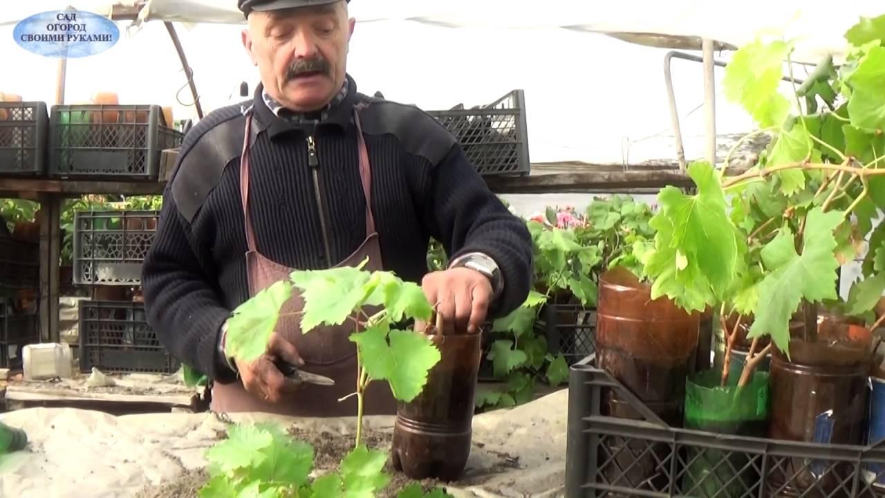 Уход за вегетирующими саженцами винограда