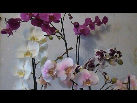 орхидея Phalaenopsis: уход после покупки
