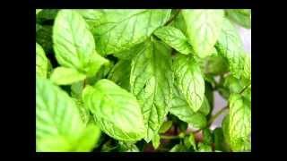Hierbabuena planta medicinal. Propiedades y beneficios de la hierba buena.