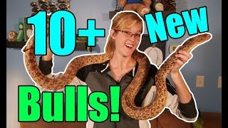 Meet our New Bullsnake Morphs!