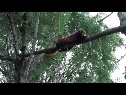 旭山動物園 レッサーパンダ2009