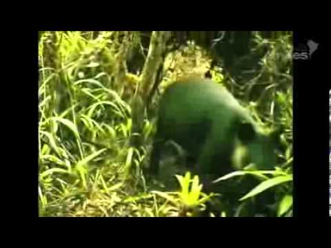 Revelan imágenes de tapir en su hábitat natural