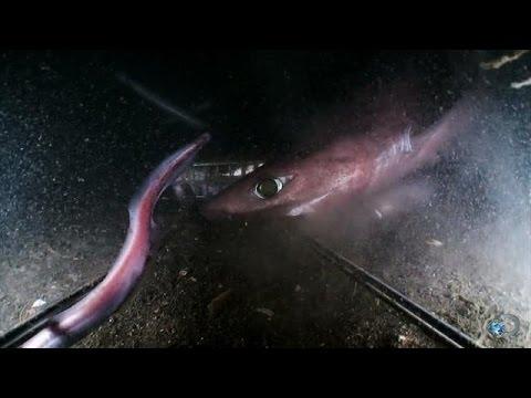 Gulper And Pacific Sleeper Sharks | Alien Sharks