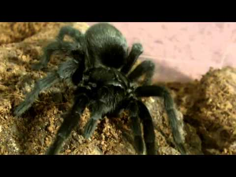 My List of Great Tarantulas for  Beginners