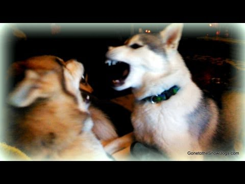 Dog Fight Siberian Husky Plays Rough *snow Dog Short 14* video