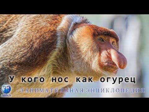 Серия 3. Кахау или Носач - удивительная носатая обезьяна.