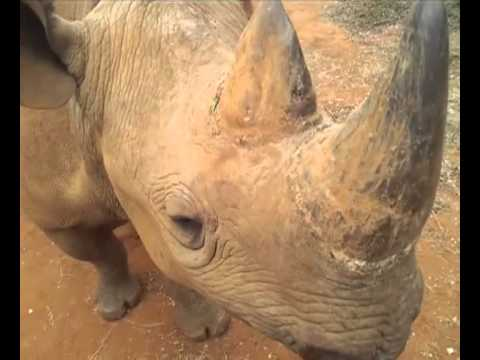 Bliksem the Black Rhino at Sanwild Sanctuary
