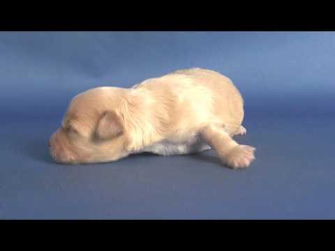 【ペットノート】 マルプー(マルチーズ×トイ・プードルのミックス犬) 女の子 16062302