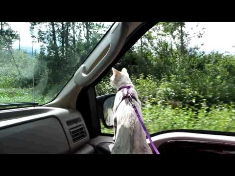 Zena Cat at Mineral Creek Loop Valdez Alaska head out the truck window
