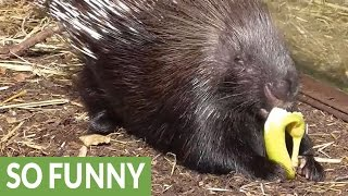 Prickly business: Meerkat steals food from porcupine