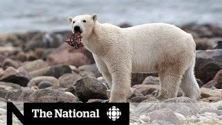 Inuit community calls for change in polar bear protection measures