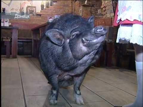 Артистичная свинья
