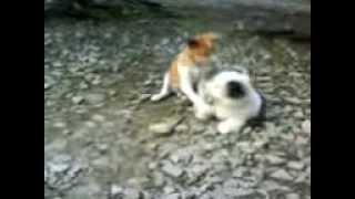 Three Dog fight Bones   Tiga Anjing Rebutan Tulang