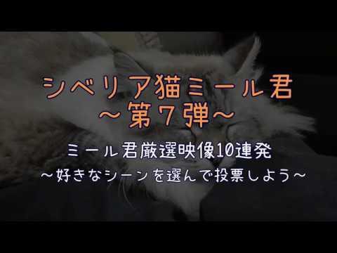 シベリア猫ミール君 第7弾 (平成30年2月22日公開)