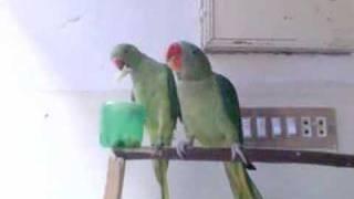 Ringneck Parrot & Alexandrine Parakeet Food Fight
