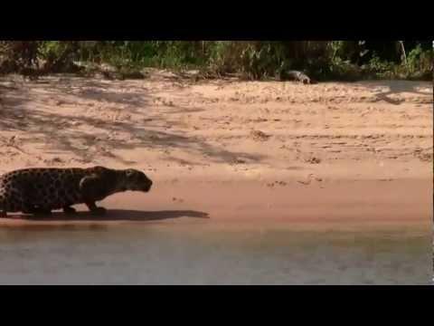 Flagra no Pantanal: Onça pintada ataca e captura uma capivara gigante - 2013
