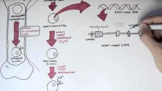 Immunology - Antibody Somatic (VDJ) Recombination I
