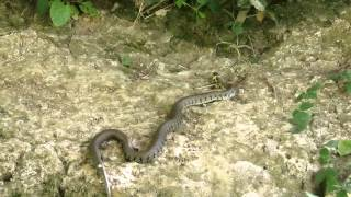 Hunting grass snake in Leominster filmed in HD with hc-v750