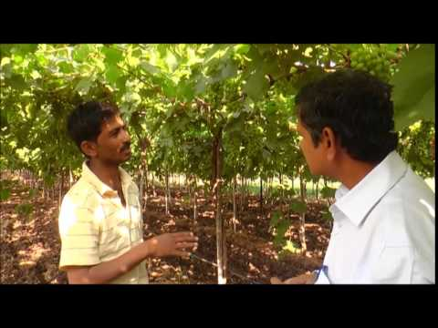 Fresh grapes fruit growth enhancer-an experience from Commercial Grape Farmer