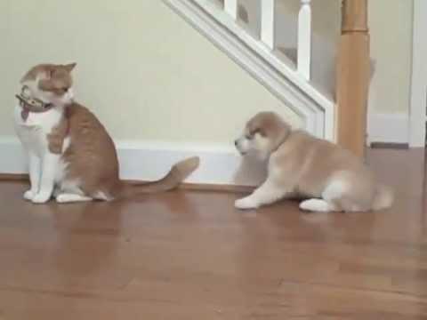 柴犬の子犬は、猫と遊びたいのです!