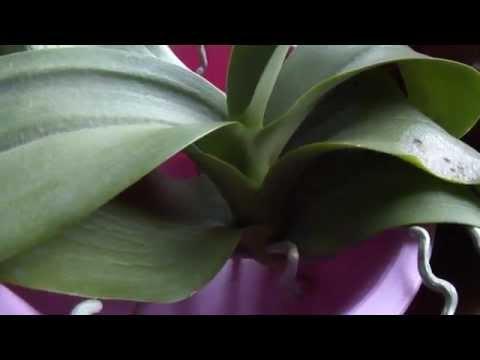 Осмотр верха разделённой орхидеи...