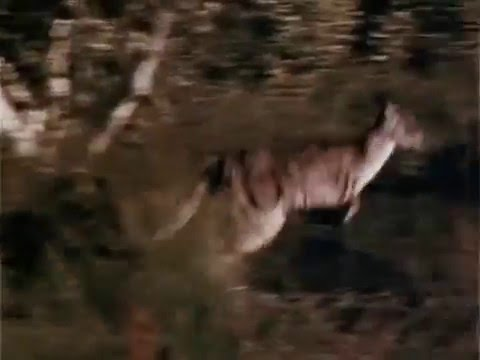 Skippy the Bush Kangaroo 1968 - 1970 Opening and Closing Theme  (With Snippet)