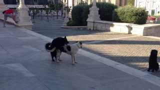 2 Stray Dogs Mating In Athens