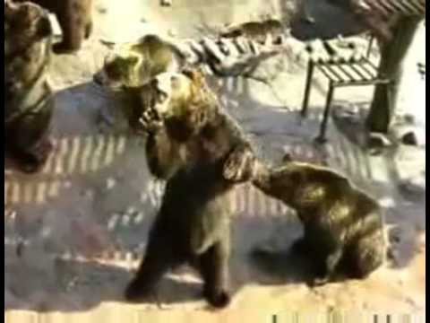 Bears Acting Like Humans Bears Get Food by Acting Like