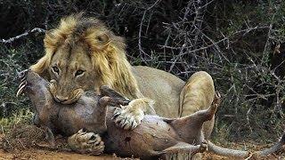 شاهد  معركة مذهلة بين أسد جائع وخنزير.