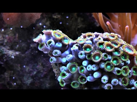 Corals as engineers