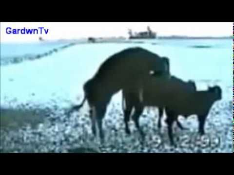 Mangayaki Badbaxt funny Cows مانگایهکی بهدبهخت