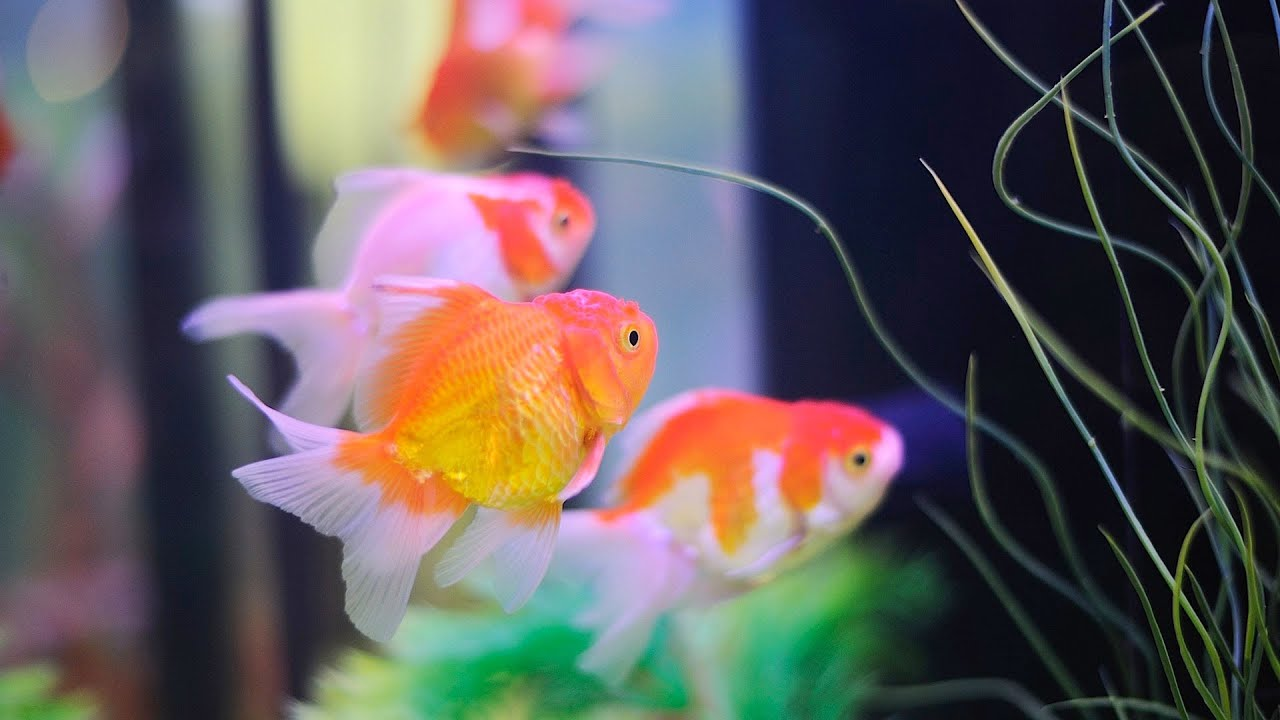 How to keep koi fish aquarium care youtube for Live to fish