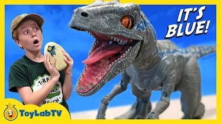 Raptor Blue & Surprise Egg Dinosaurs! Jurassic World Fallen Kingdom Alpha Training Blue Toy Dinosaur