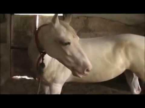 Royal Passion Of Indian Marwari Horse video