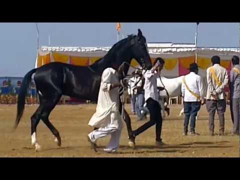 ring at haldi ghati fair(stallion)