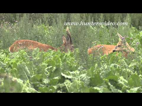 rutting-roebucks-in-sweden-hunters-video.html