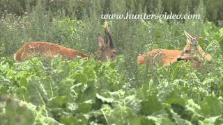 Rutting roebucks in Sweden - Hunters Video