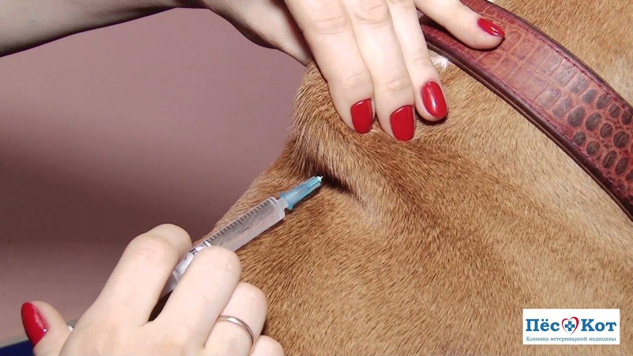 Как сделать кошке укол в холку: пошаговая инструкция и рекомендации 75