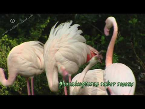 Greater Flamingo - phoenicopterus ruber roseus Video