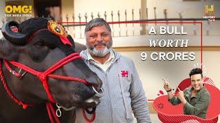 India's Super Bull Yuvraj - Father of 150,000 Calves - OMG! Yeh Mera India